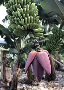 Bananenstaude in La Palma